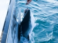 shark charters Gloucester, MA