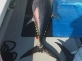 Karen Lynn Charters Gloucester, MA bluefin tuna fishing