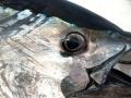 Bluefin Tuna Fishing Karen Lynn Charters Gloucester MA