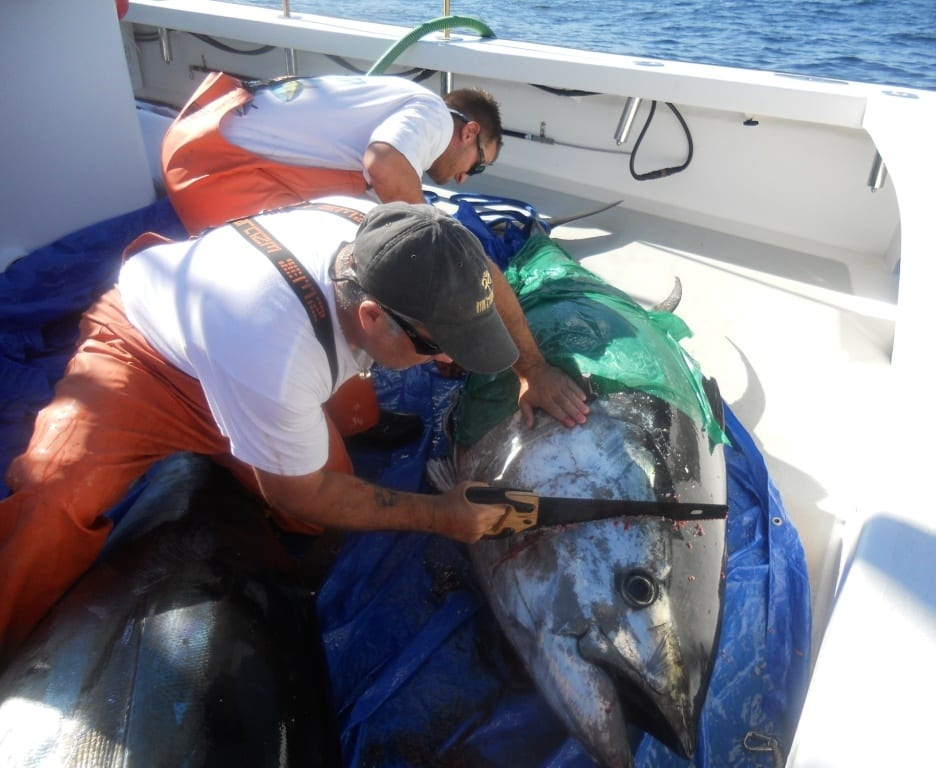 dressing giant bluefin tuna Karen Lynn Charters